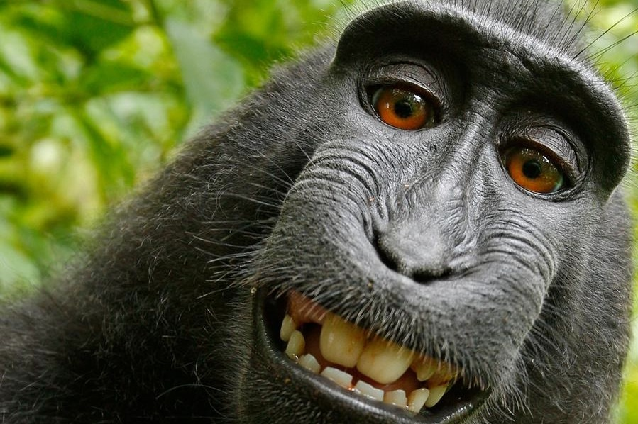 Animali_creativi_selfie del macaco