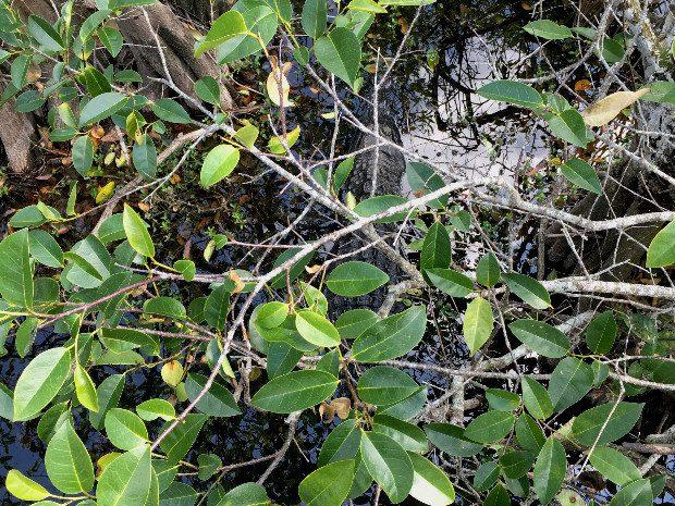 Miami Everglades alligator