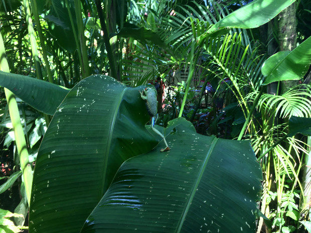 Costa Rica -133 specie di rane